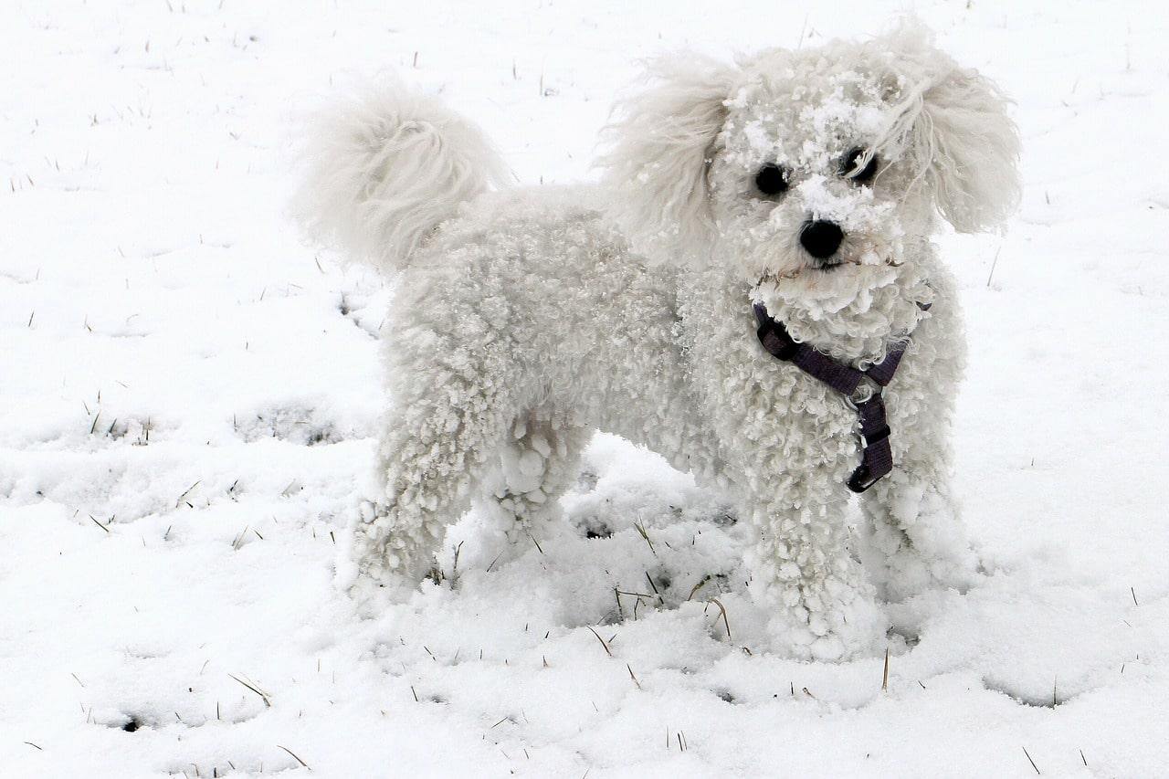 animal, dog, snow