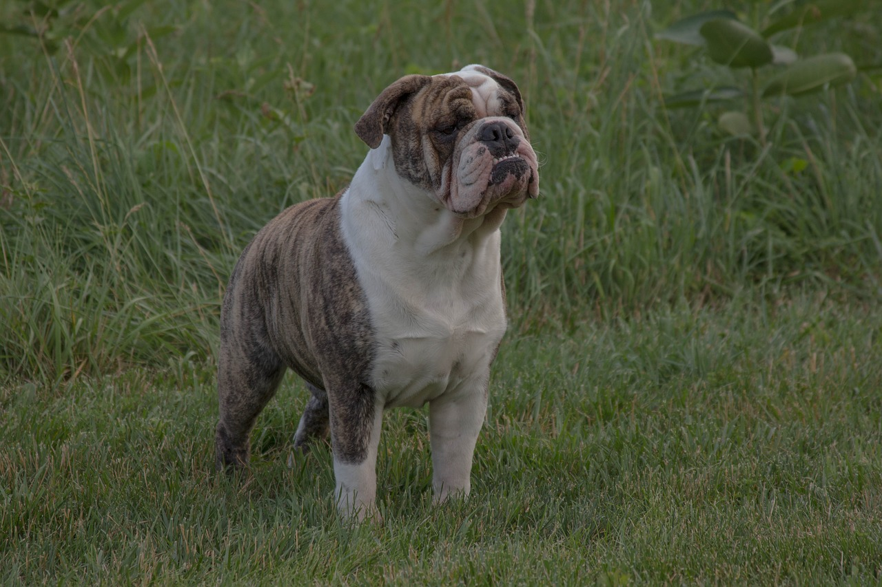 bulldog, english bulldog, pet
