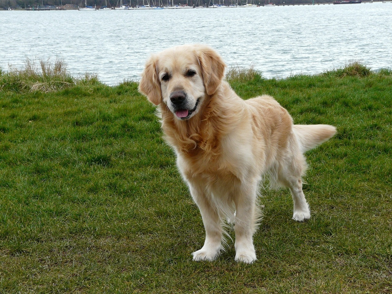 dog, golden, retriever