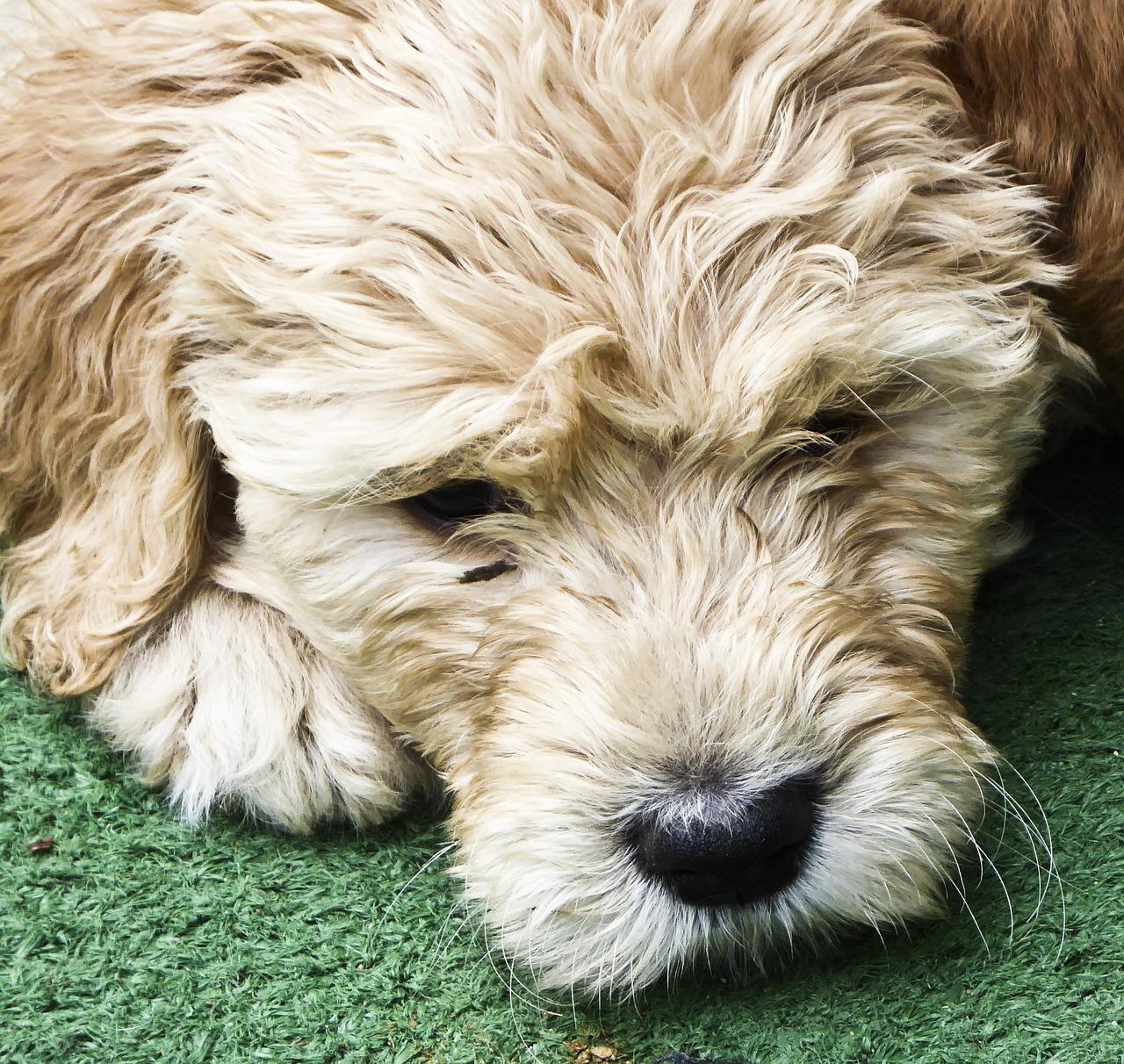 dog, puppy, golden doodle
