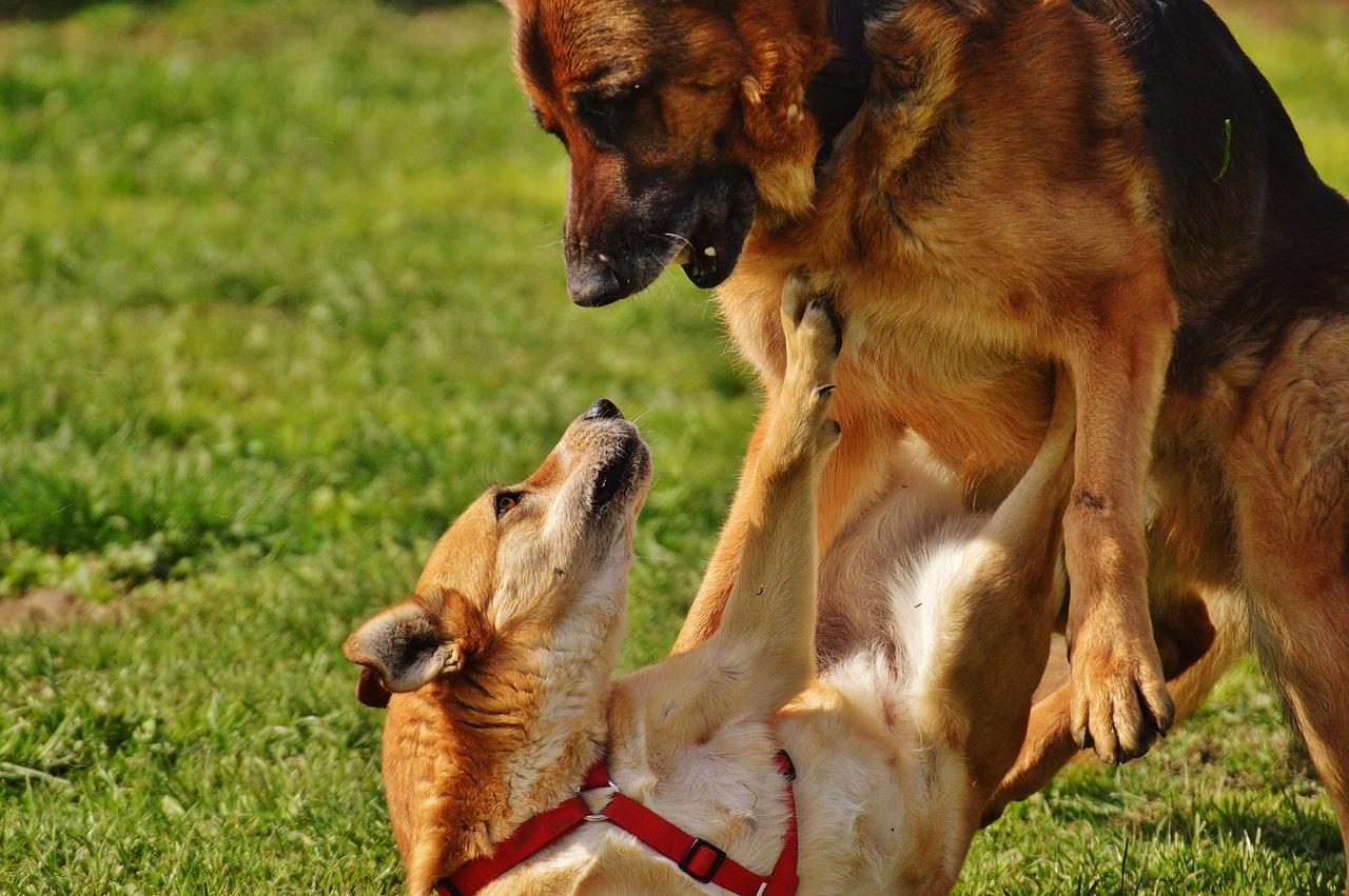 dogs, fur, play