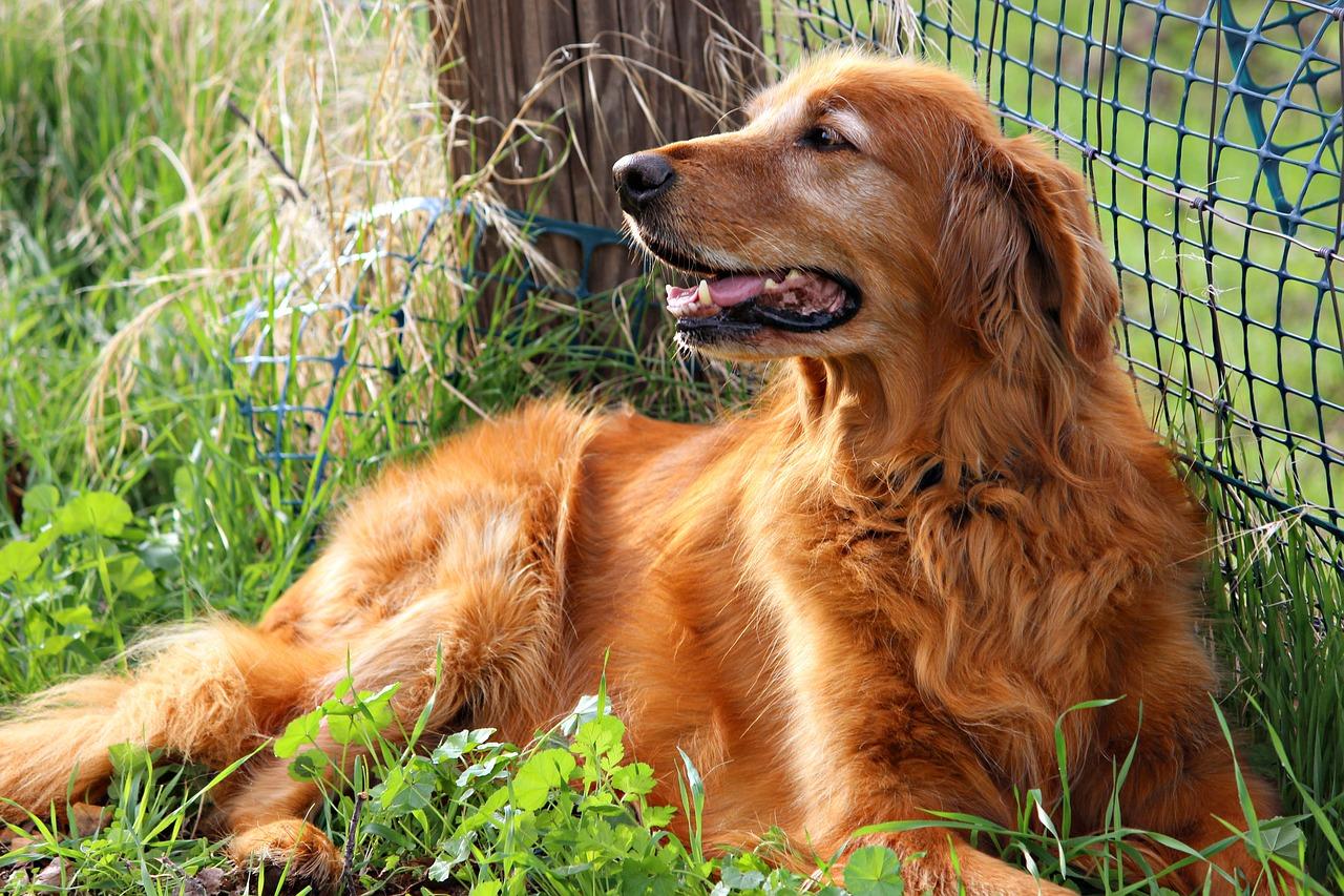 golden retriever, happy, dog