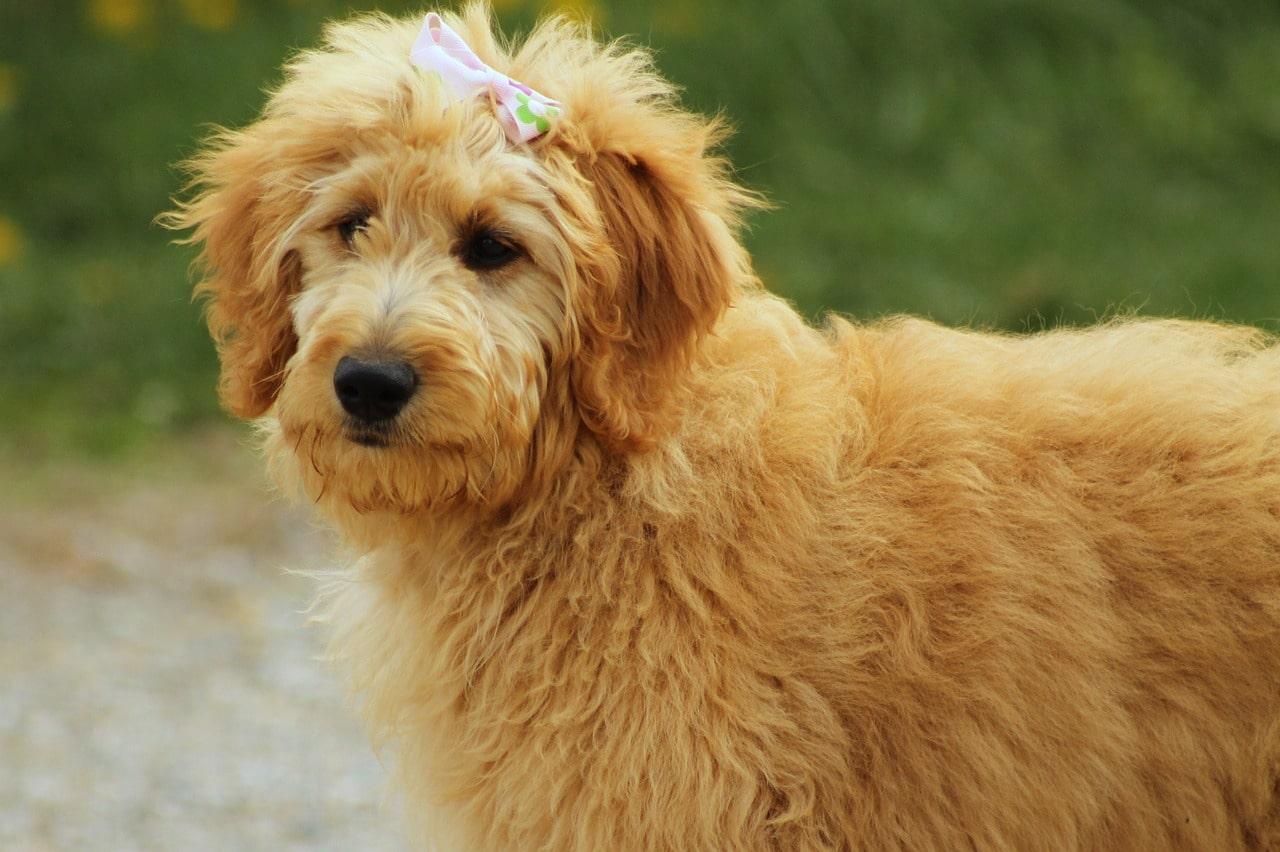 goldendoodle, dog, canine