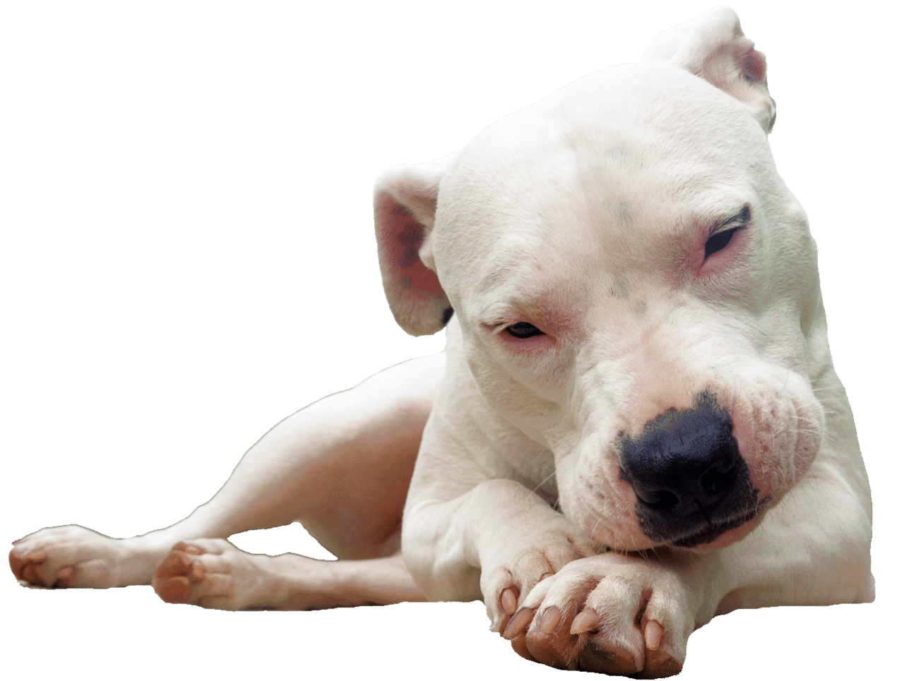 isolated, bull terrier, white