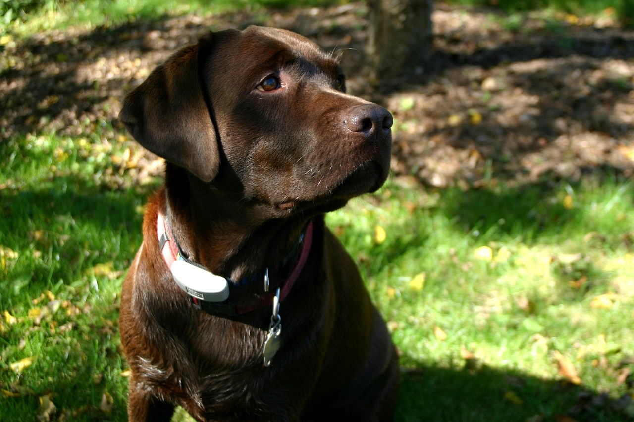 labrador retriever, chocolate, dog
