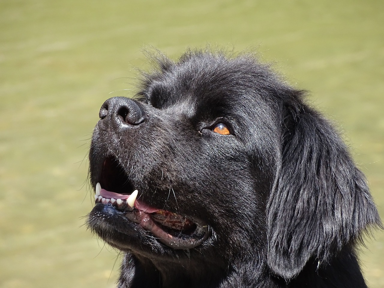 newfoundland, dog, black