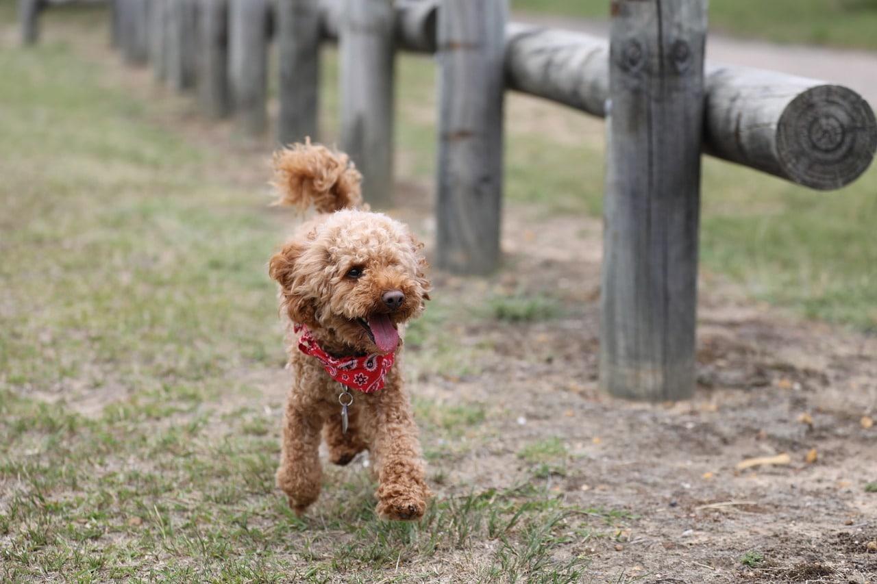 poodle, toy poodle, dog