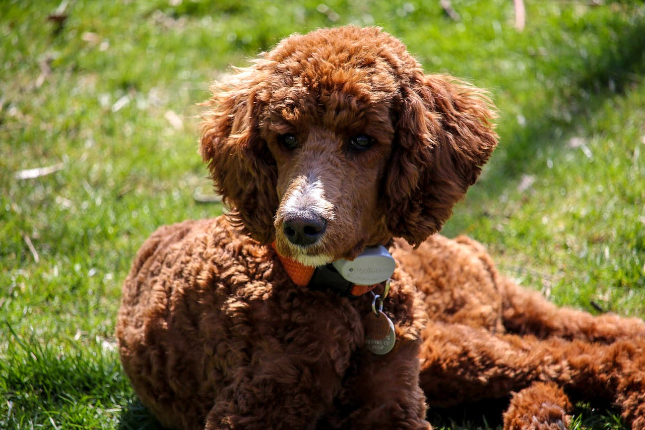 standard poodle, puppy, brown dog