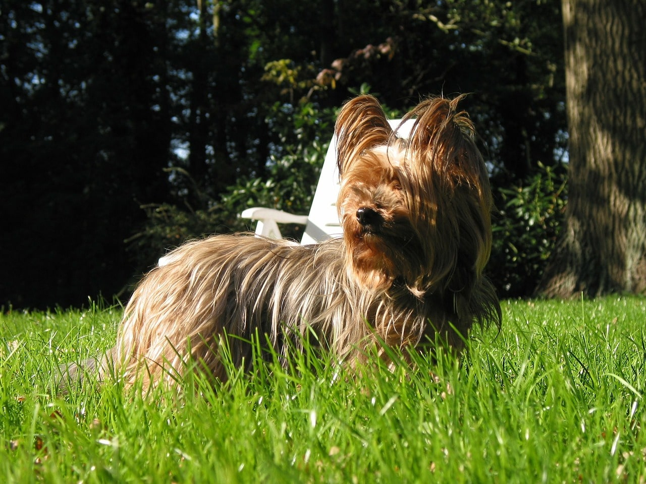 yorkshire, terrier, dog