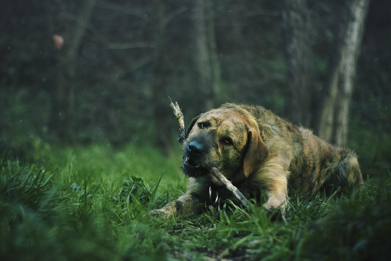 lawn, animal, dog