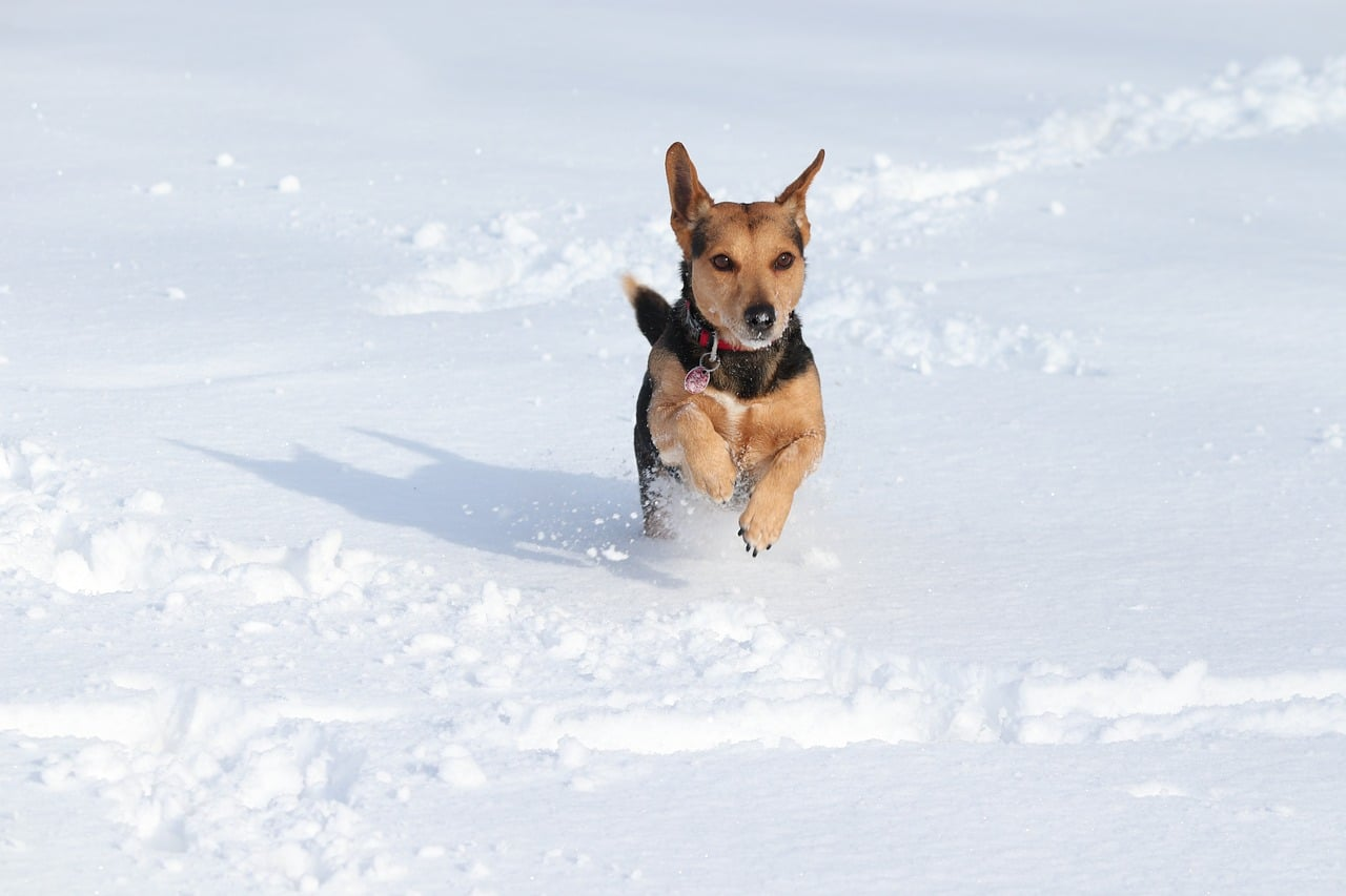 dog, snow, race