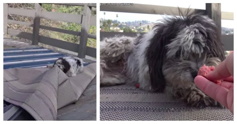 Stray Poodle Braved The Mountains While Desperately Awaiting