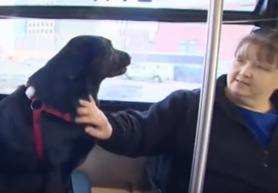 eclipse, a black lab, rides the bus alone