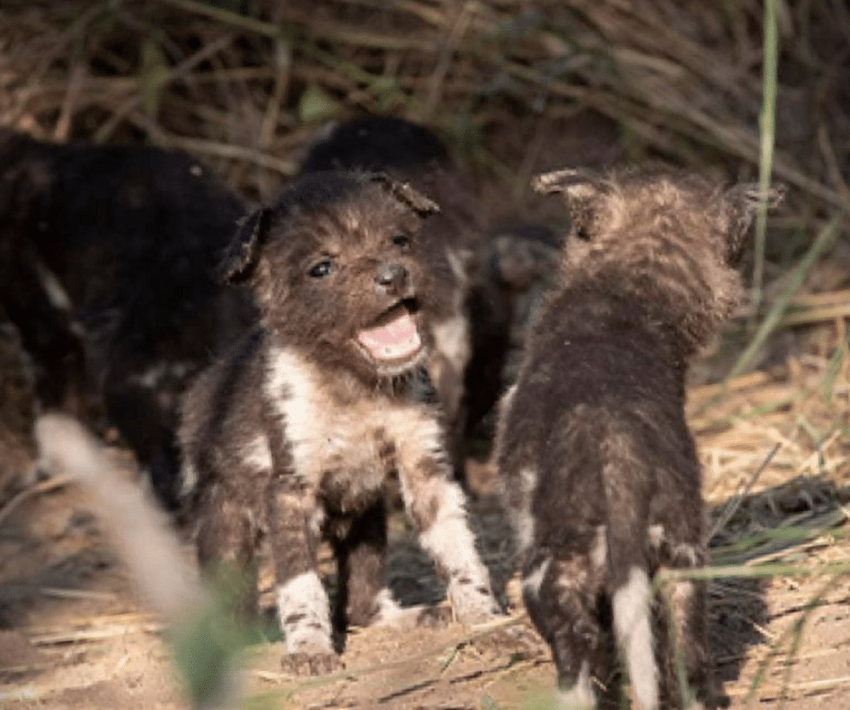 litter of african wild dogs